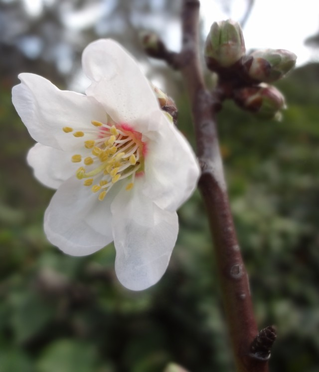 First Almond Blossom !